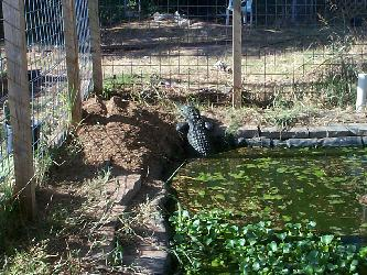 Outdoor enclosure for caiman crocodilus